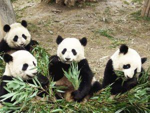 pandas chengdu