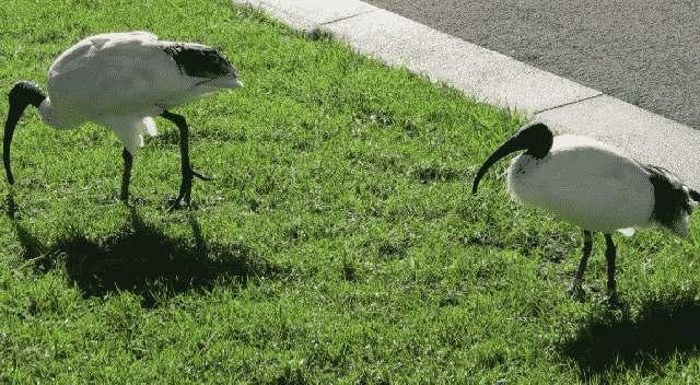 sydney-ibissen