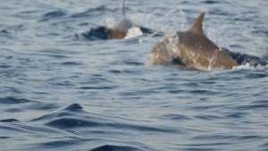 Dolfijnen spotten lovina